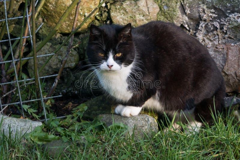 Den svartvita älsklings- katten med ljus livlig guling synar omkring för att hoppa av en inloggningsframdel av den lantliga stenv fotografering för bildbyråer