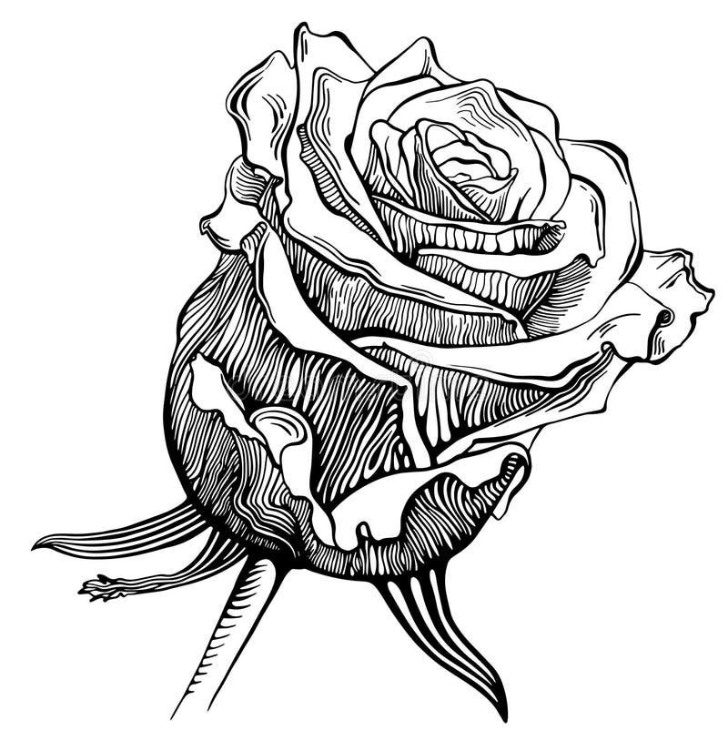 Den svartvita digitala teckningen skissar rosa royaltyfri illustrationer
