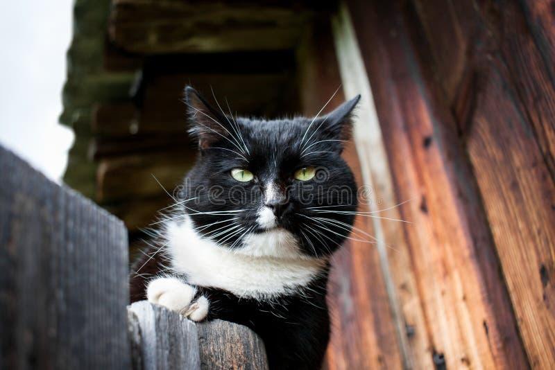 Den svartvita katten ligger på trädörr nära ett gammalt trä ho royaltyfri bild