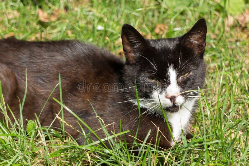 Den svartvita katten som ligger i ögon för grönt gräs, skelade arkivbilder