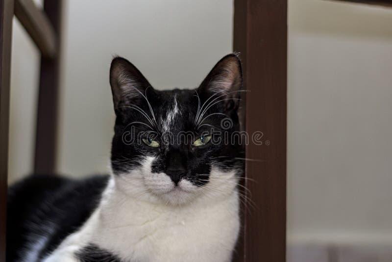 Den svartvita katten som vilar bak stolen royaltyfri foto