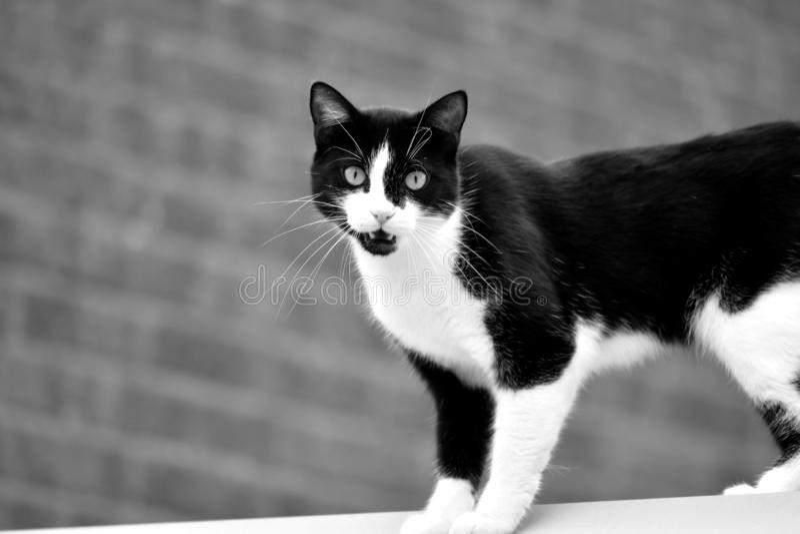 Den svartvita katten står på taket av huset arkivfoto