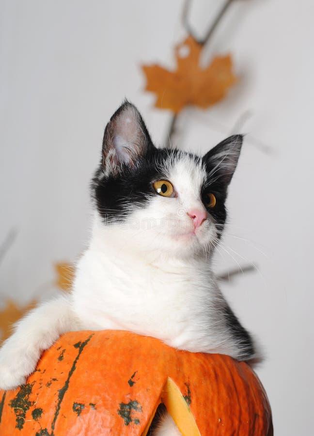 Den svartvita katten vilar på en stor orange pumpa, nära stående arkivfoto