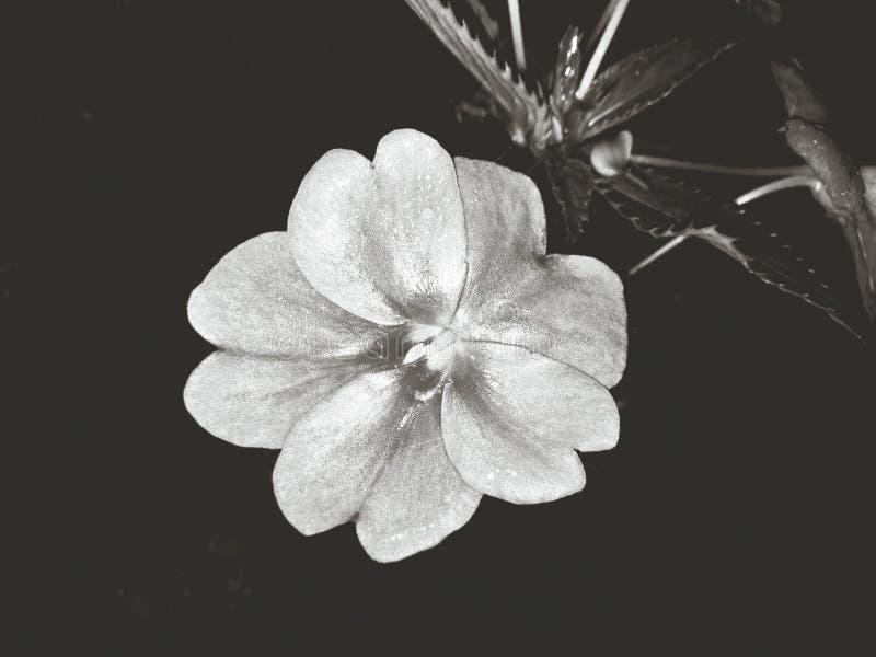 Den svartvita rosen arkivfoton