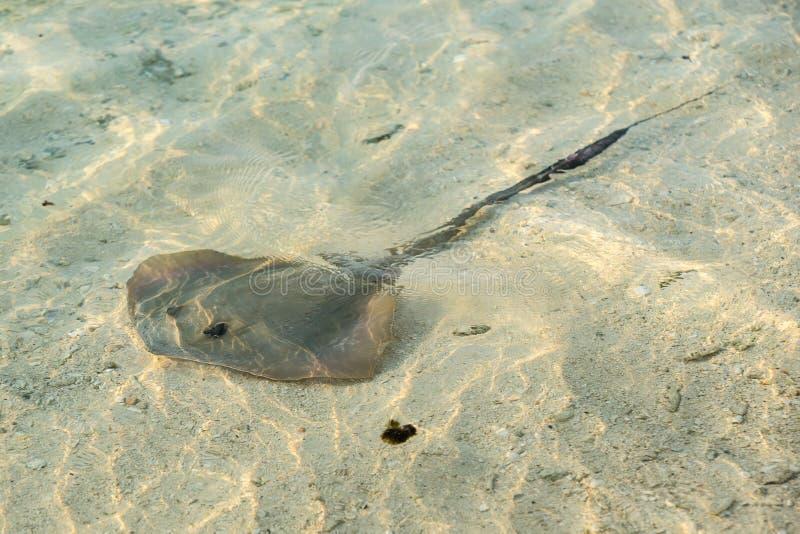 Den sydliga stingrockan glider stealthily längs den sandiga havsbotten royaltyfria bilder
