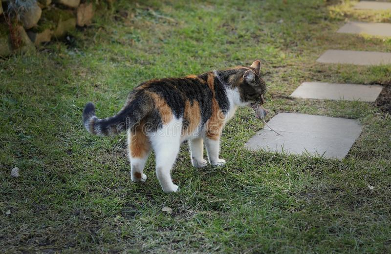 Den tämjde katten fångade den lilla musen, och nu tar hon av den till det säkra stället Rovdjuret har lyckad jakt Kattungen rymme arkivfoto