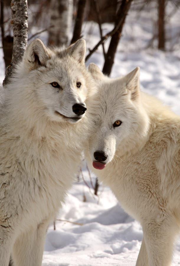 den täta arktisken övervintrar tillsammans wolves arkivfoto