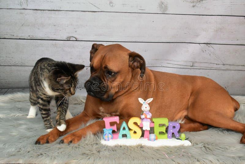 Den Tabby Manx katten och en boxare föder upp hundpåskståenden royaltyfria foton