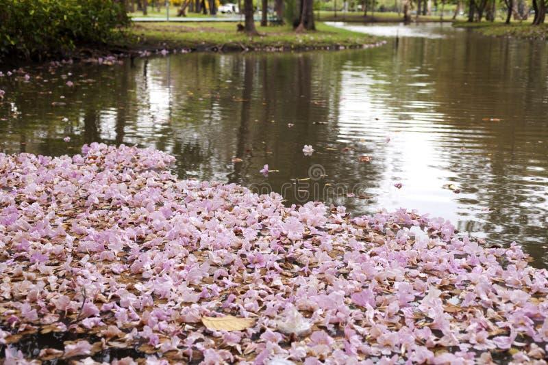 Den Tabebuia roseaen är en rosa blomma som faller på sjön arkivfoton