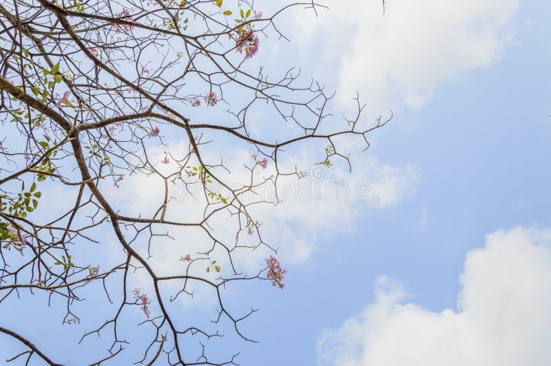 Den Tabebuia roseaen förgrena sig på blå himmel royaltyfria foton