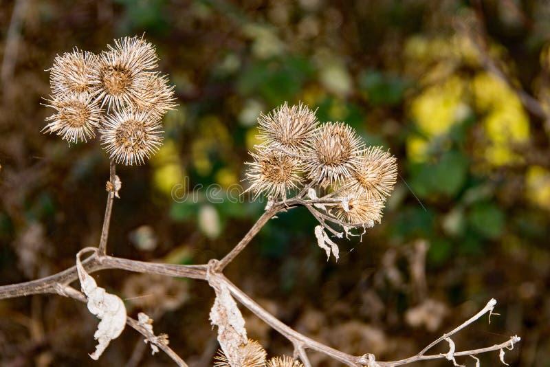 Den taggiga Herb Burdock växten eller Arctiumväxt från Asteraceaefamiljen fotografering för bildbyråer