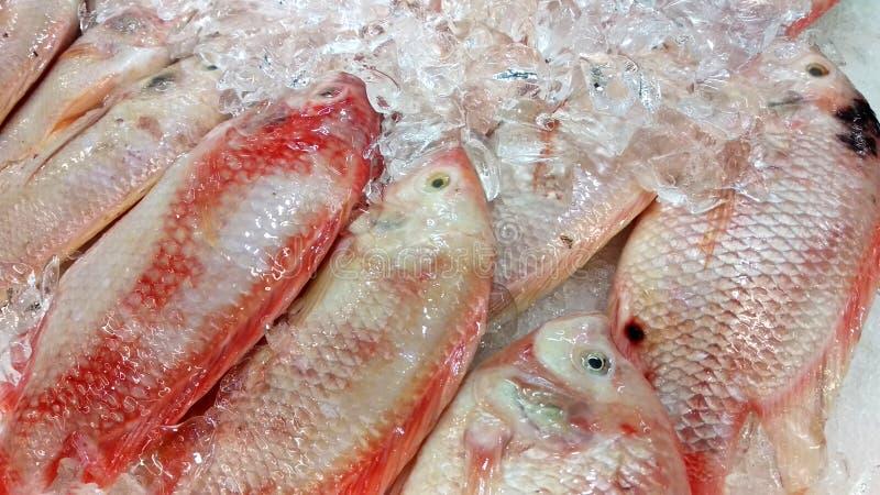 Den Talapia Merah fisken eller det vetenskapliga namnet kallade den Oreochromis niloticusen royaltyfri fotografi