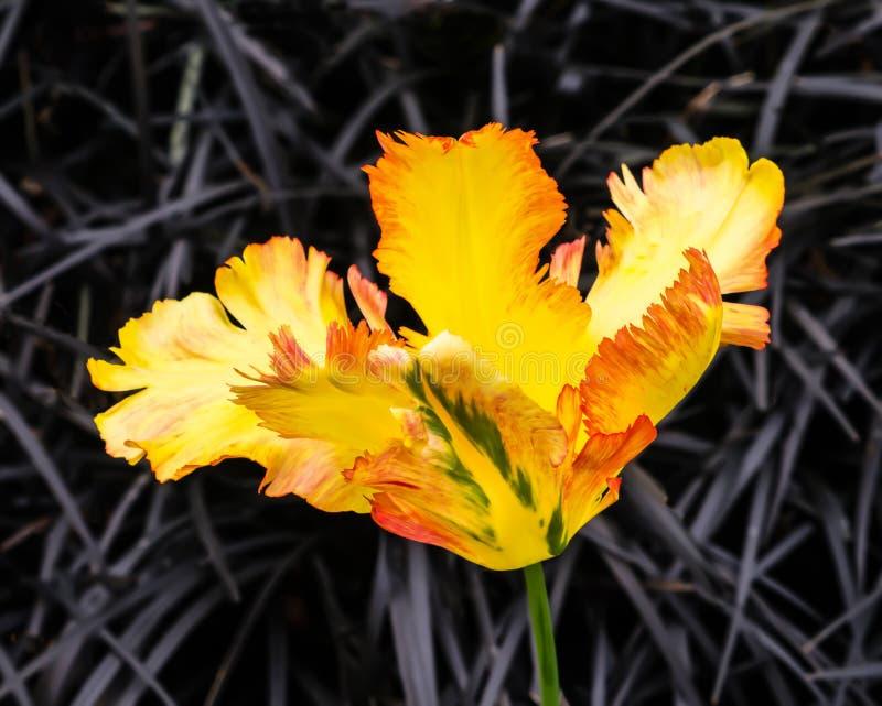 Den Texas Gold papegojatulpan, hybrida för Tulipa x, underplanted med svart Mondo gräs, den Ophiopogon plniscapusen 'Nigrescens', arkivbild