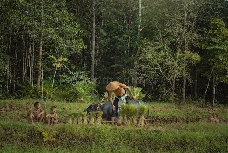 Den thailändska bonden planterar ris i fälten mot att regna gräsplan arkivfoto
