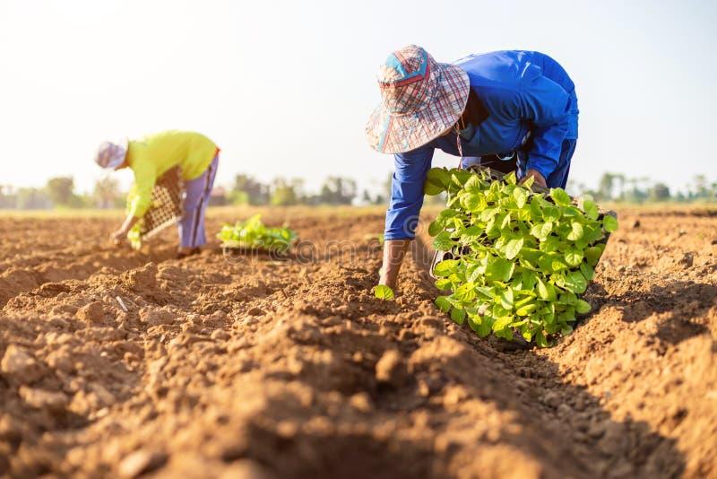 Den thailändska jordbrukaren planterar den unge av grön tobak på fältet i norra Thailand royaltyfri bild