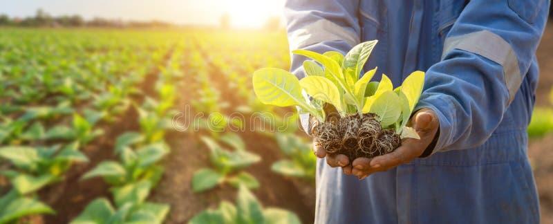 Den thailändska jordbrukaren planterar den unge av grön tobak på fältet i norra Thailand arkivfoton