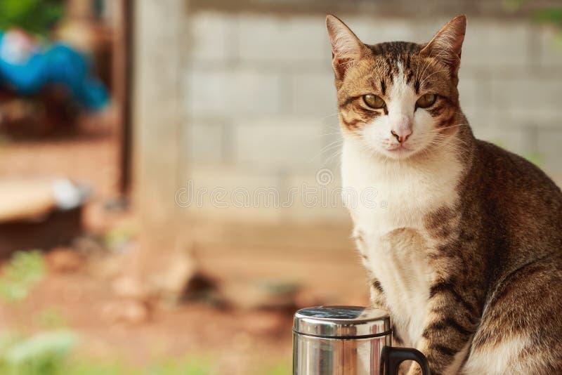 Den thailändska katten med bruna band är suttet se royaltyfria foton