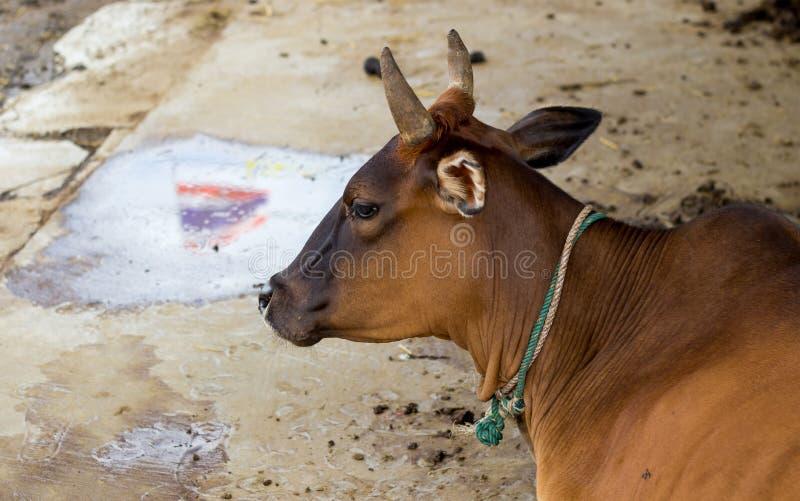 Den thailändska kon tar en vila, med reflexionsskugga av den thailändska flaggan arkivfoto