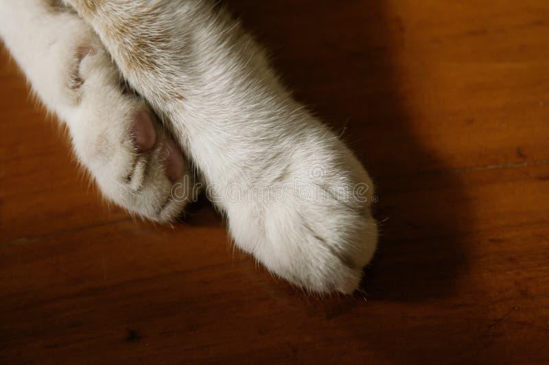 Den thailändska Siamese katten tafsar, bruntfärgkatten tafsar tätt upp skott arkivbilder
