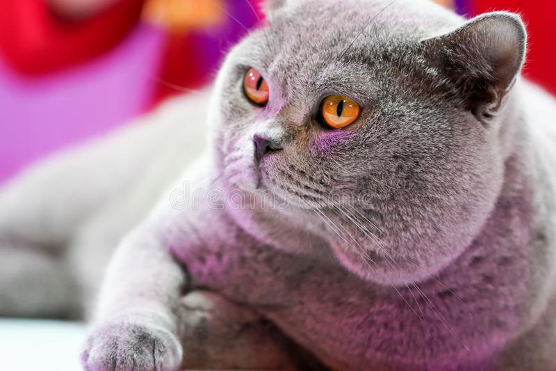 Den thail?ndska Korat katten med de gula ?gonen f?r gr? p?ls Det ?r vinnaren av h?rlig kattkonkurrens f?r turnering arkivfoton
