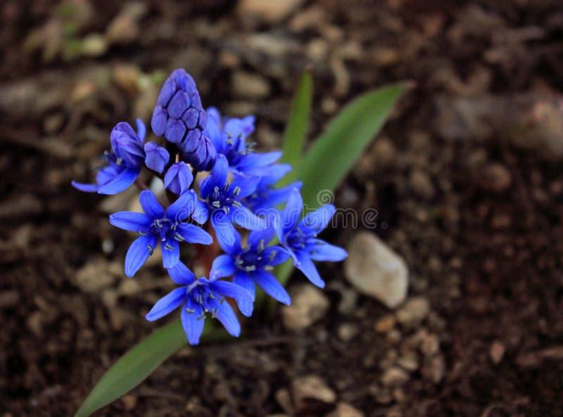 Den tidiga våren blommar den Ficaria vernaen, blått-violetta bergblommor royaltyfri foto