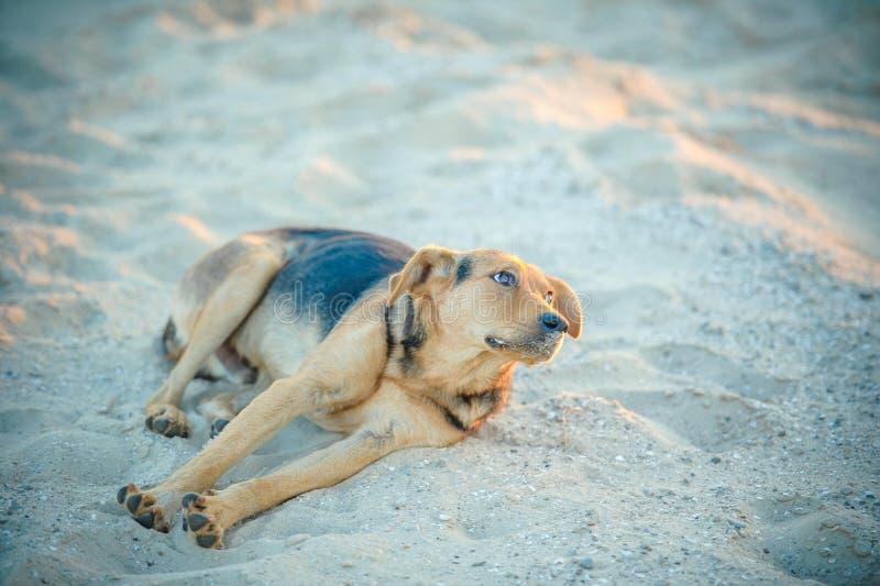 Den tillfälliga hunden ligger på stranden och frågar för mat fotografering för bildbyråer