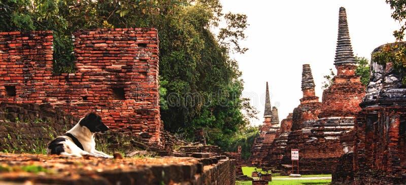 Den tillfälliga hunden som ligger i Wat Phra Sri Sanphet Historical, parkerar, Ayuthaya, Thailand, South East Asia arkivfoto