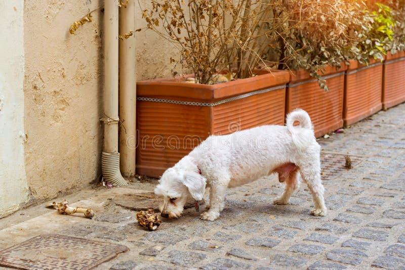 Den tillfälliga hunden tuggar ett ben på kullerstengatan arkivfoton
