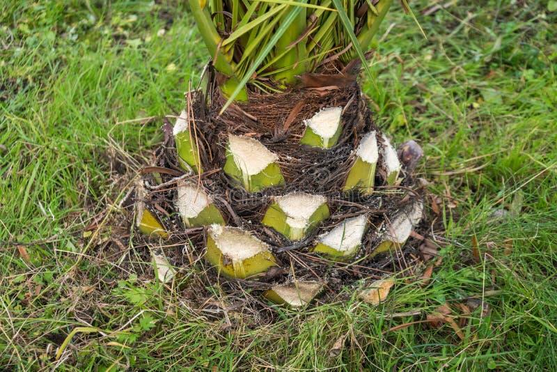Den tjocka palmträdstammen med överdrivna filialer klippte av arkivbilder