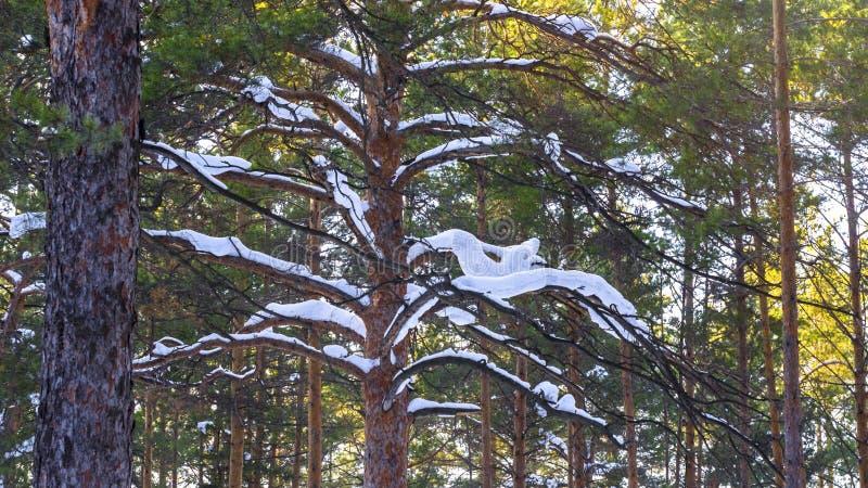 Den tjocka snöräkningen sörjer på trädfilialer i Forest On en Sunny Winter Day arkivfoton