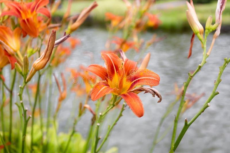 Den tonade bilden av orange liljor som växer på dammet parkerar in royaltyfria bilder