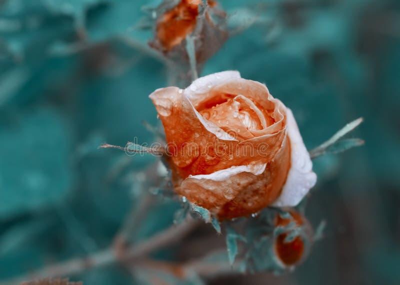 Den tonade bilden - steg blomman med vattendroppar royaltyfri bild