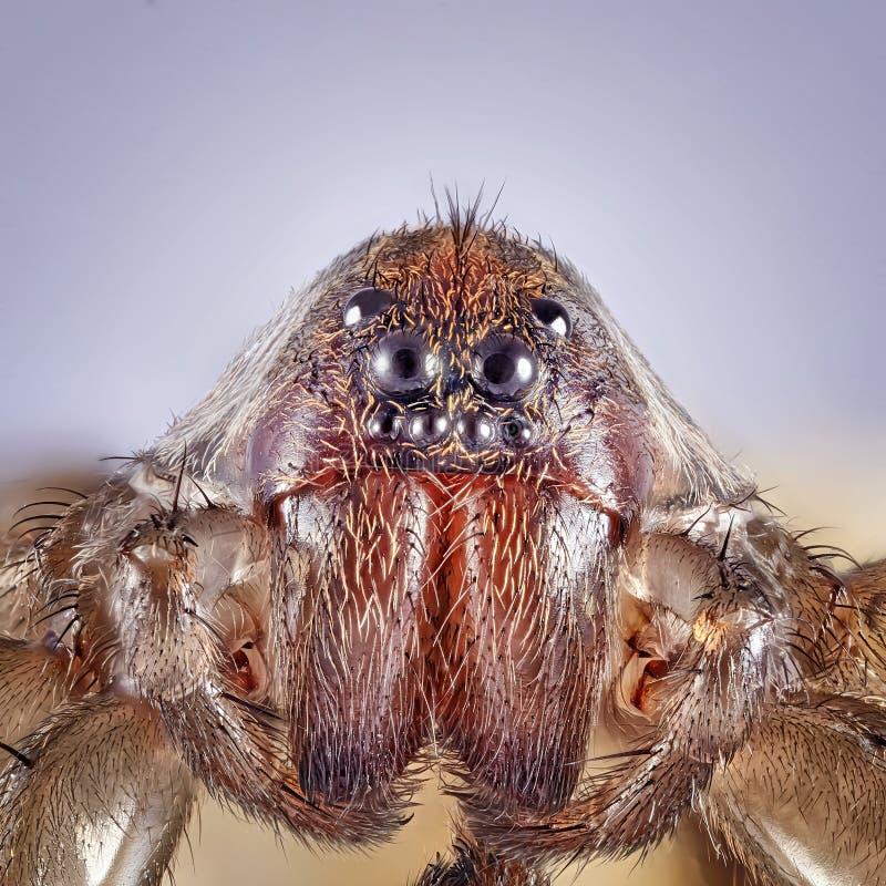 Den toppna makrobilden av spindeln, hög förstoring, goda vässar och det mycket klara detaljerat, ögat och framsidan fotografering för bildbyråer