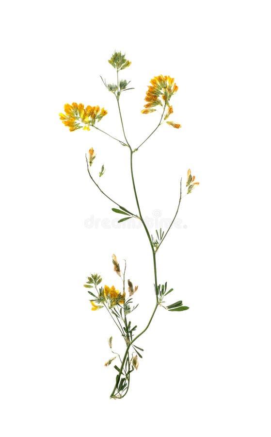 Den torkade ängen blommar på vit bakgrund arkivfoto