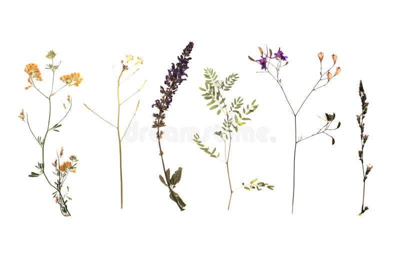 Den torkade ängen blommar på vit bakgrund royaltyfria bilder
