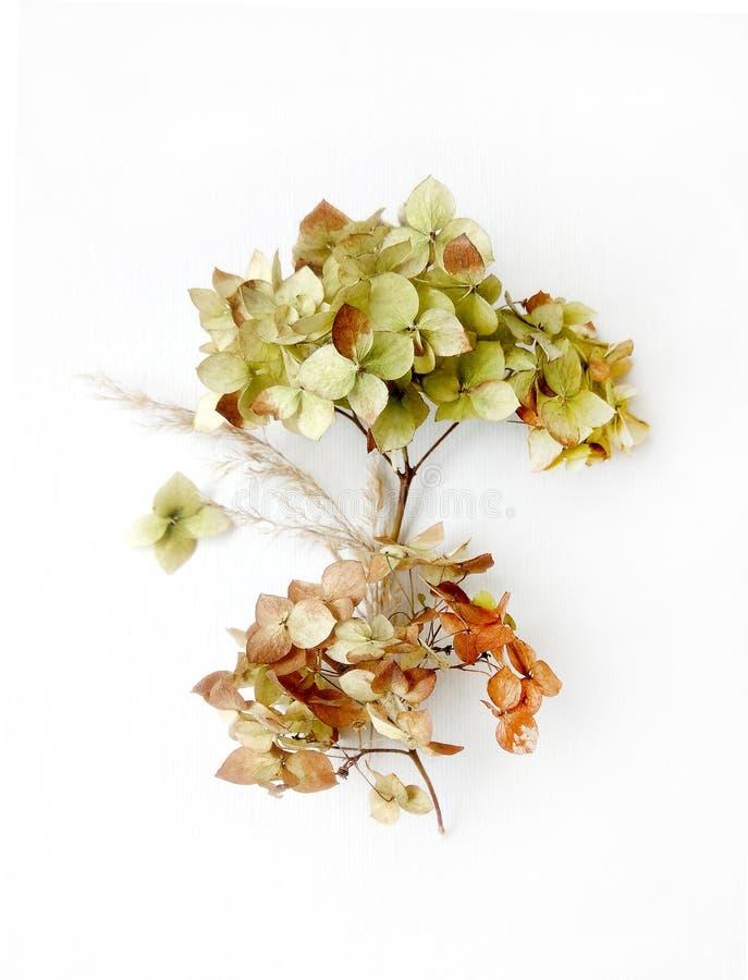 Den torkade vanliga hortensian blommar isolerade beståndsdelar på vit bakgrund med verklig skugga fotografering för bildbyråer
