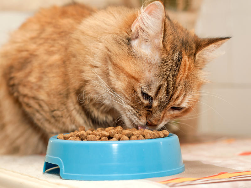 den torra katten äter mat royaltyfria bilder