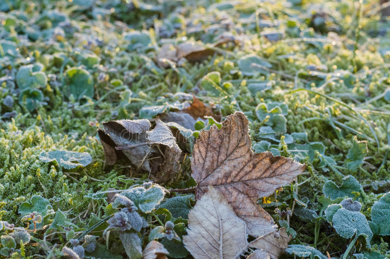 Den torra lönnlövet på en frost täckte gräs och mossa royaltyfri fotografi