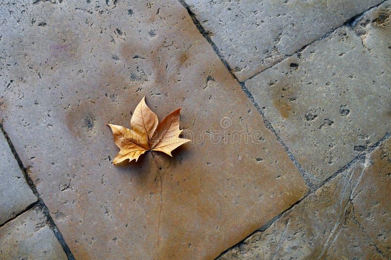 Den torra lönnlövet på stenar golvet arkivfoton
