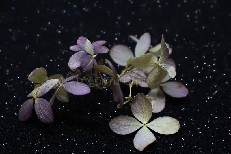 Den torra rosa lila vanliga hortensian blommar på svart skinande bakgrund arkivbilder