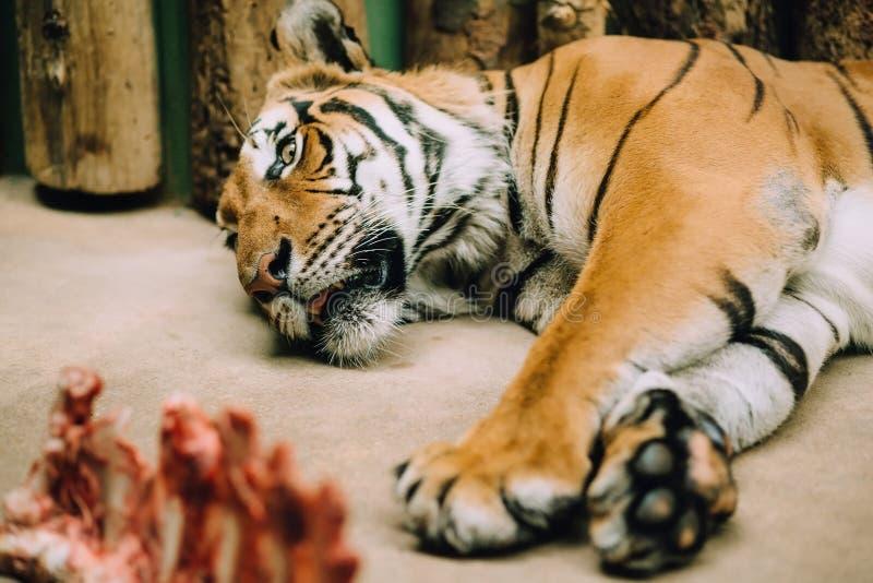 Den trötta Bengali tigern ligger i en zoo royaltyfri foto