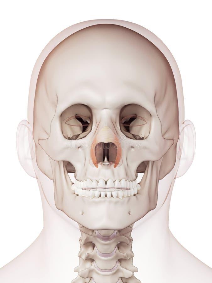 Den transversal- nasalisen royaltyfri illustrationer