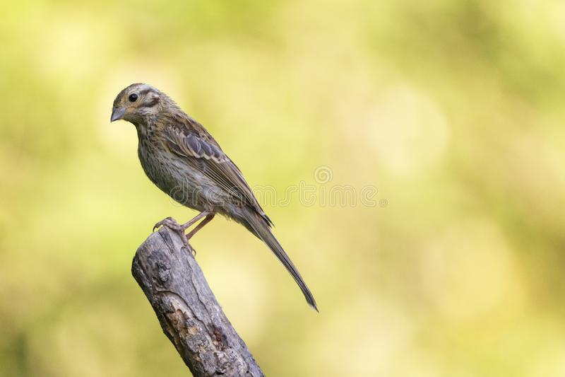 Den trevliga lilla fågeln, kallade gråsparvparusen som domesticusen poserade över en filial, med ut ur fokusbakgrund royaltyfri foto