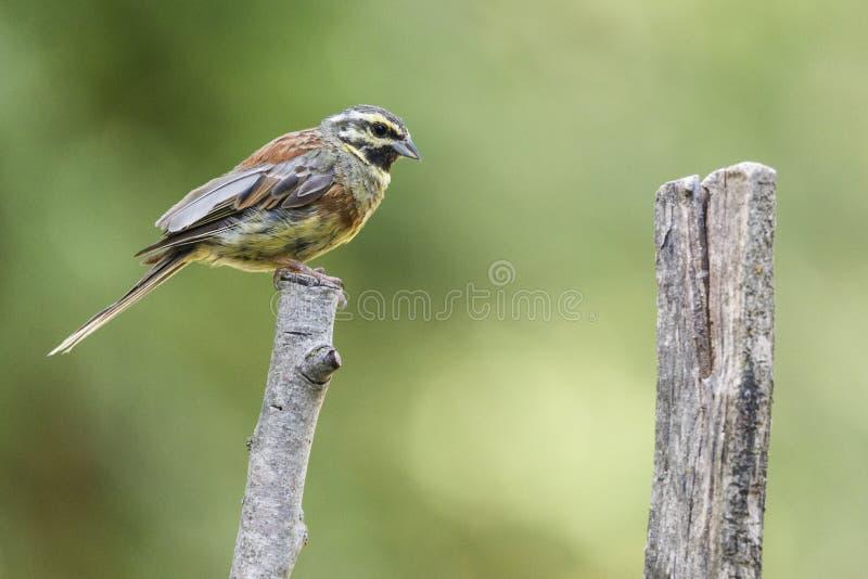 Den trevliga lilla fågeln som kallades cirlusen för den Cirl Buntingemberizaen, poserade över en filial, med ut ur fokusbakgrund fotografering för bildbyråer
