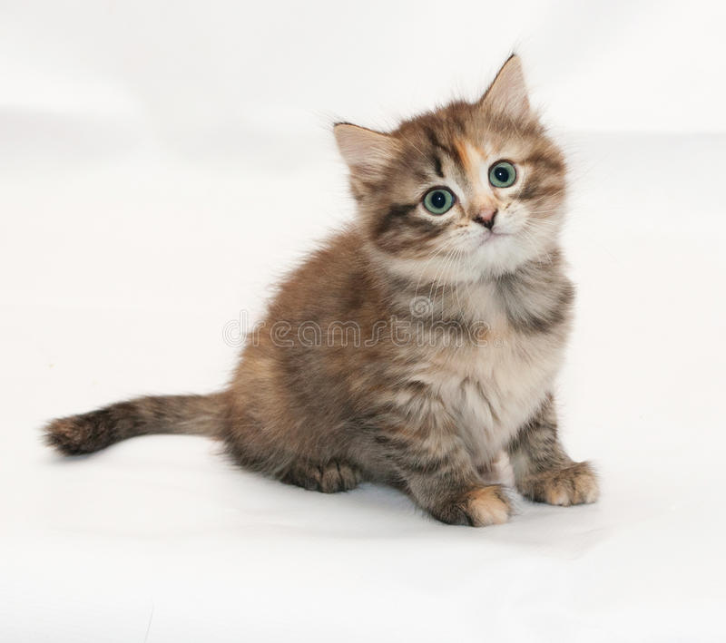 Den Tricolor fluffiga kattungen sitter med skrämd blick arkivbild