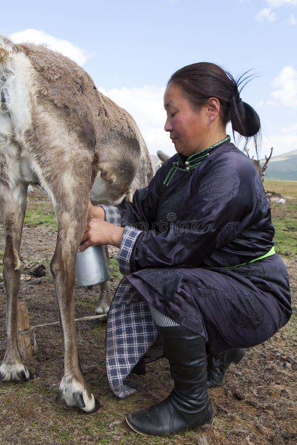 Den Tsaatan kvinnan mjölkar renen i nordliga Mongoliet royaltyfri foto