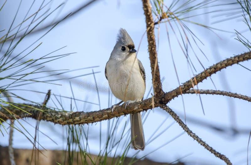 Den Tufted messångfågeln sätta sig sörjer in trädet, Aten, Georgia, USA royaltyfria foton