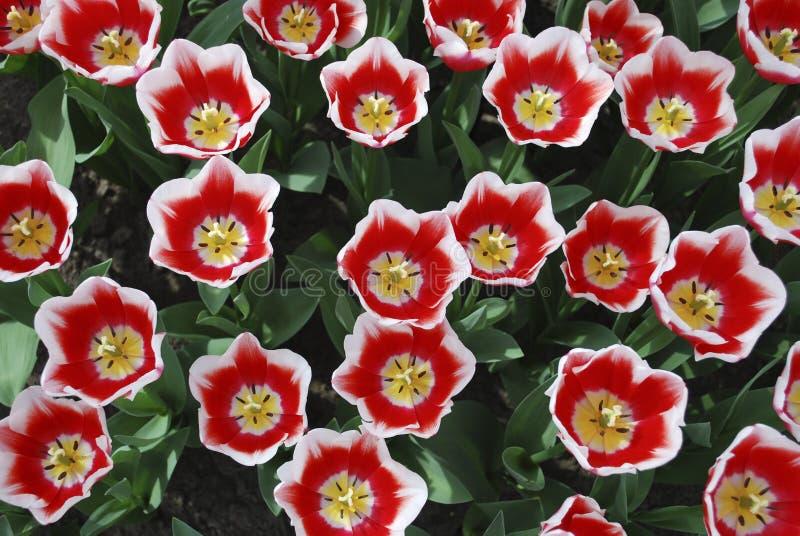 Den Tulip Dutch Design® Triumph gruppen som är fullvuxen i, parkerar royaltyfria bilder