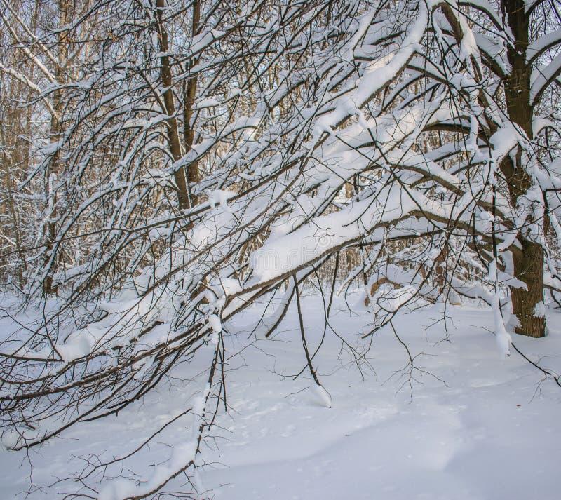 Den tunga snön böjde filialerna av träd royaltyfria foton
