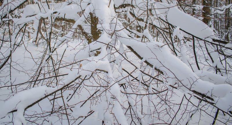 Den tunga snön böjde filialerna av träden royaltyfria bilder